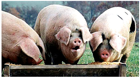 Photo source:  http://windconcernsontario.wrdpress.com/2010/04/10/mcguinty-is-mollycoddling-the-pigs-at-the-trough/