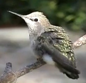 Fallen baby hummingbird rescued, nursed to health, and fed by mother hummingbird while being held by Peter Tommerup, Saratoga CA, June 2007.